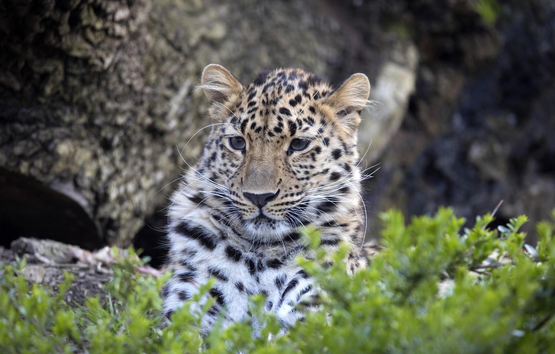 Photo wallpaper face, leopard, big cat