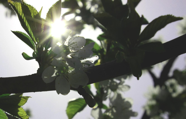 Photo wallpaper flowers, cherry, tree, spring, wallpaper, white