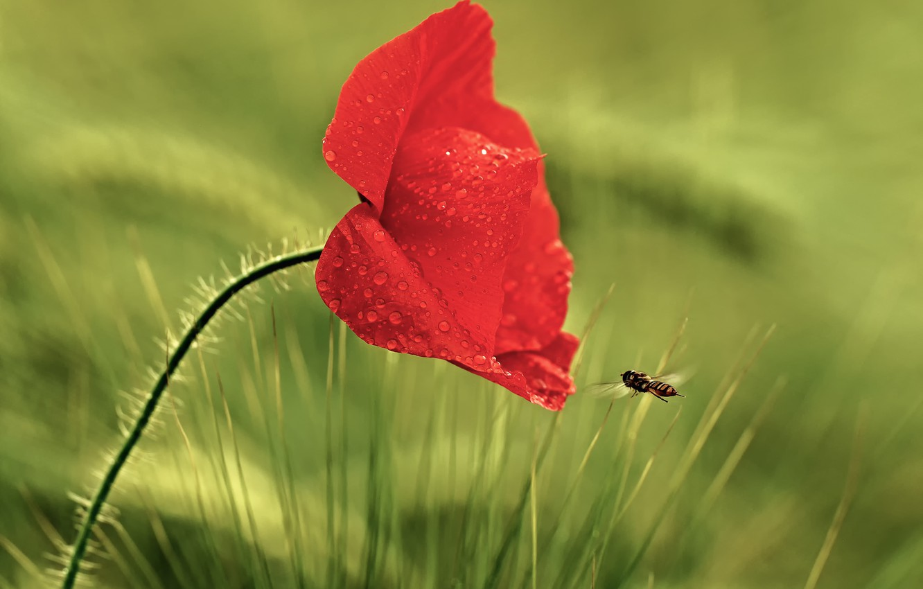 Photo wallpaper flower, grass, drops, red, Rosa, Mac, insect