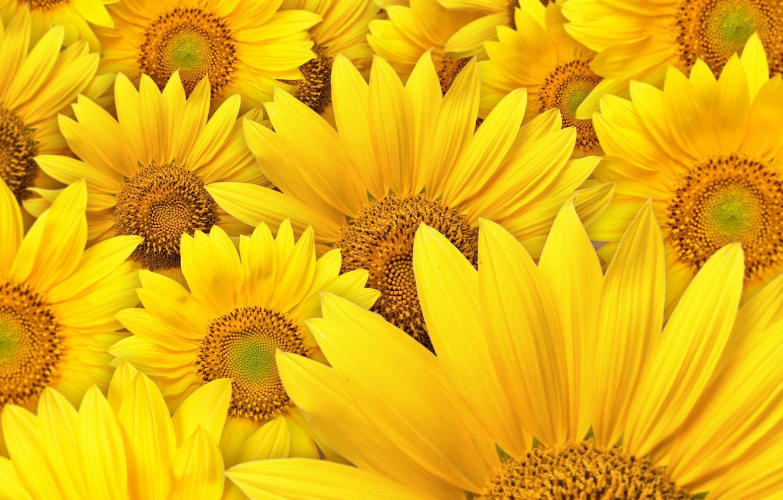 Photo wallpaper sunflowers, flowers, macro photography