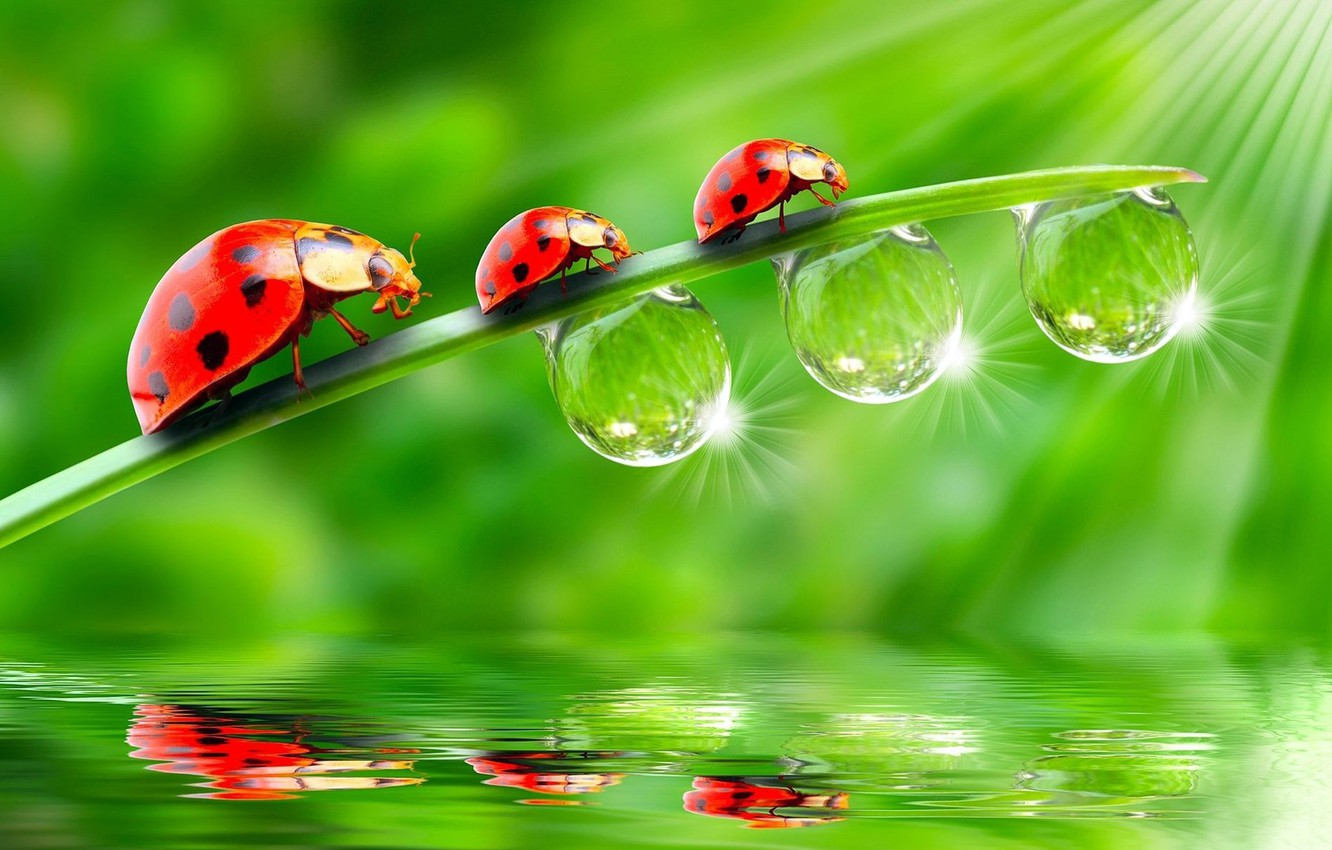 Photo wallpaper BACKGROUND, ROSA, WATER, DROPS, GREEN, TRIO, REFLECTION, SURFACE, LIGHT, STEM, RAYS, THREE, LADYBUG