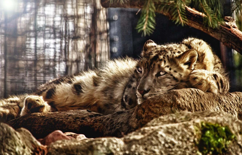 Photo wallpaper lies, Snow Leopard, IRBIS, snow leopard, photoshop tuning
