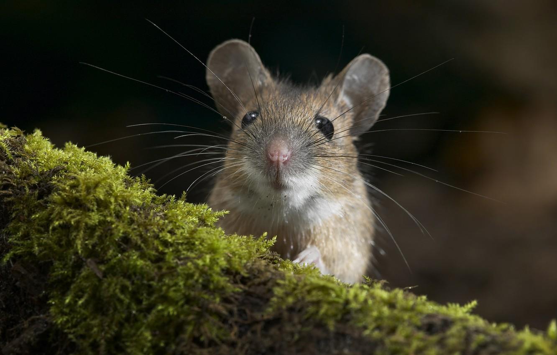 Photo wallpaper macro, moss, mouse, mouse, muzzle, log, rodent