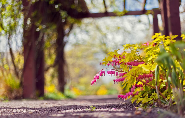 Photo wallpaper flowers, nature, Park, pink, focus, track, bokeh, the bleeding heart