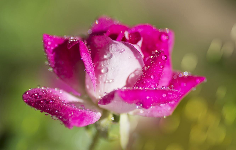 Photo wallpaper drops, macro, background, rose, petals, Bud, bokeh