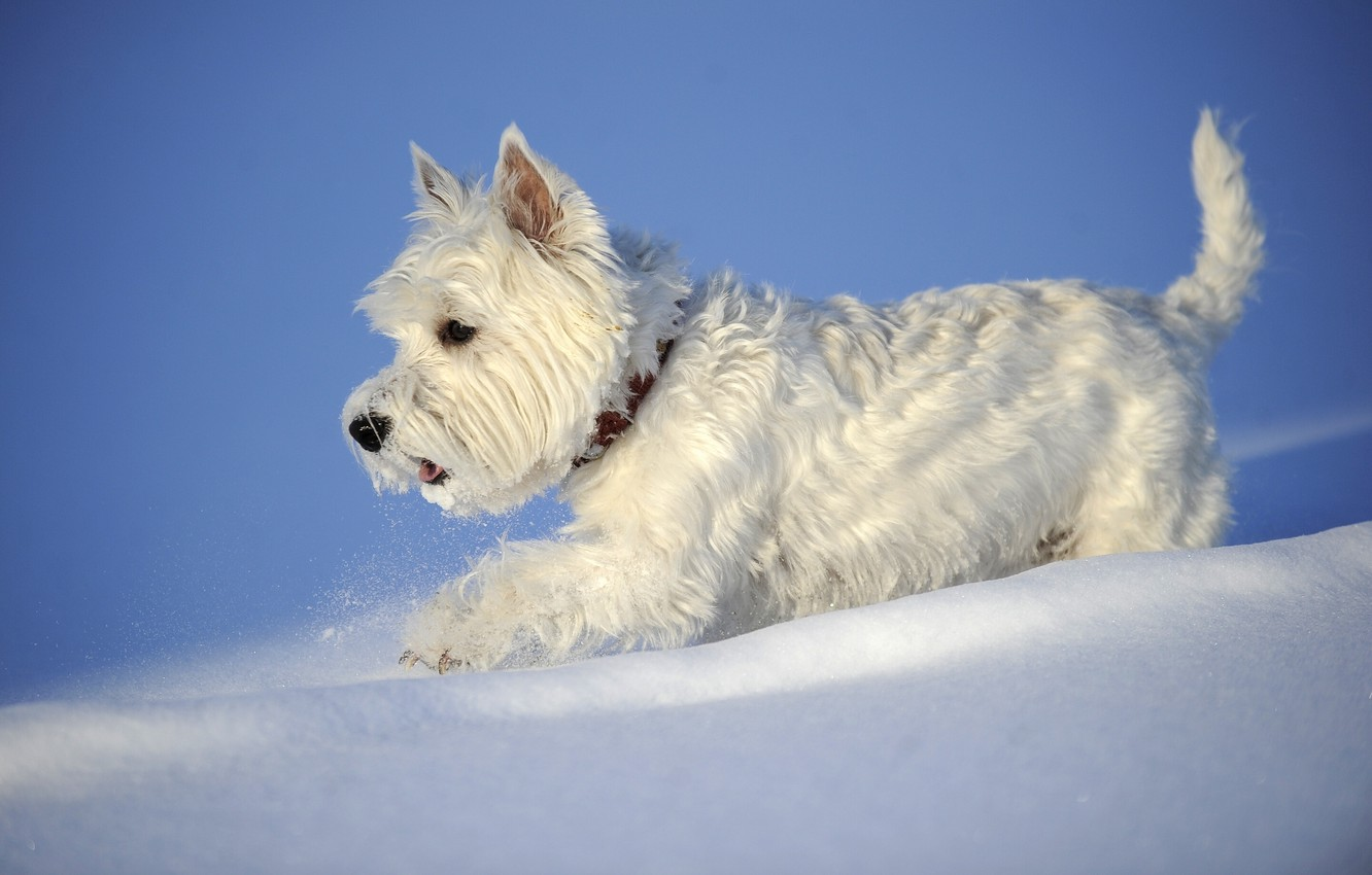 Photo wallpaper winter, snow, dog, The West highland white Terrier