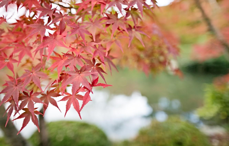 Photo wallpaper leaves, macro, Tree, blur, red, maple, bokeh, twigs