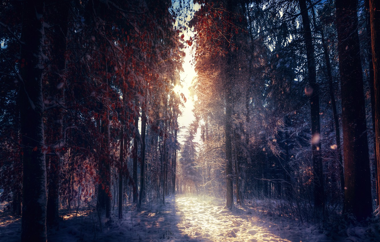 Photo wallpaper treatment, sunlight, winter forest