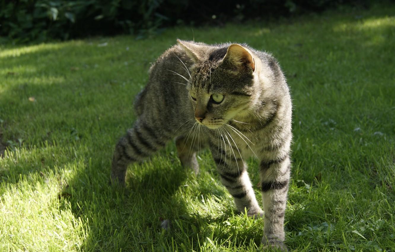 Photo wallpaper cat, grass, grey, striped