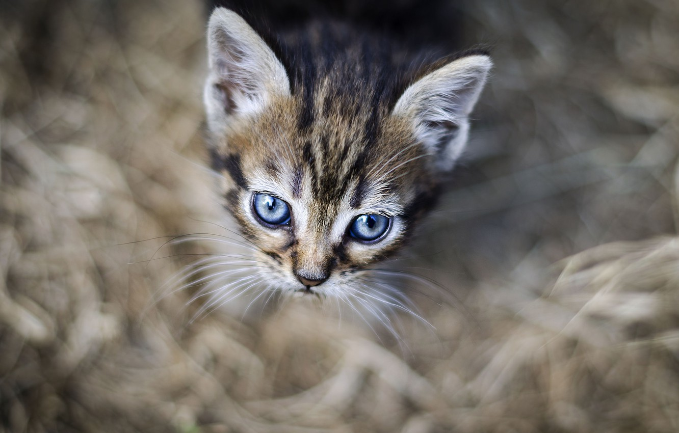 Photo wallpaper eyes, look, background, kitty