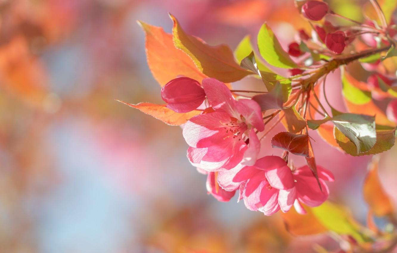 Photo wallpaper macro, spring, Apple