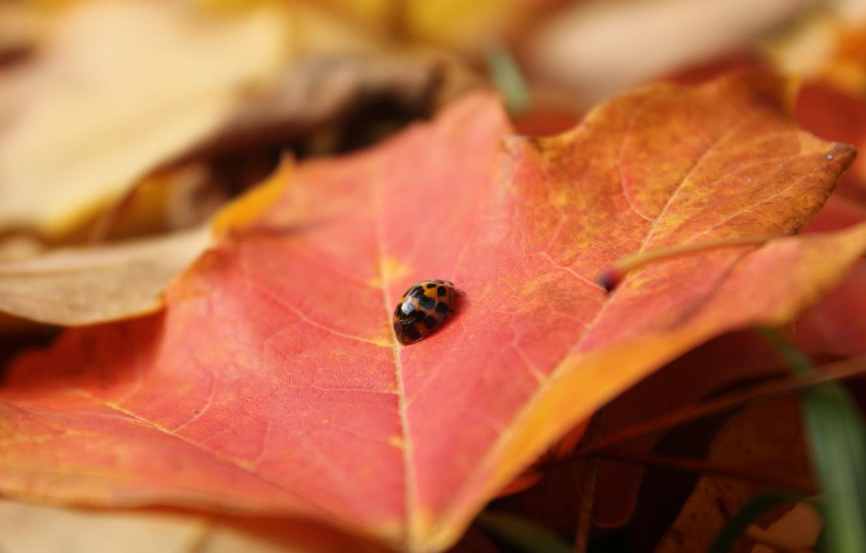 Photo wallpaper sheet, ladybug, beetle, insect, maple