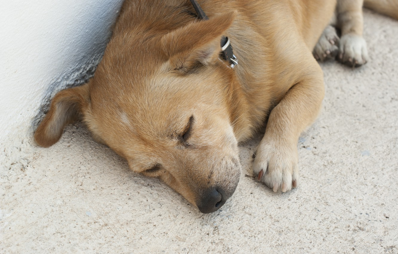 Photo wallpaper animals, dog, Santorini, red, sleeping, cute