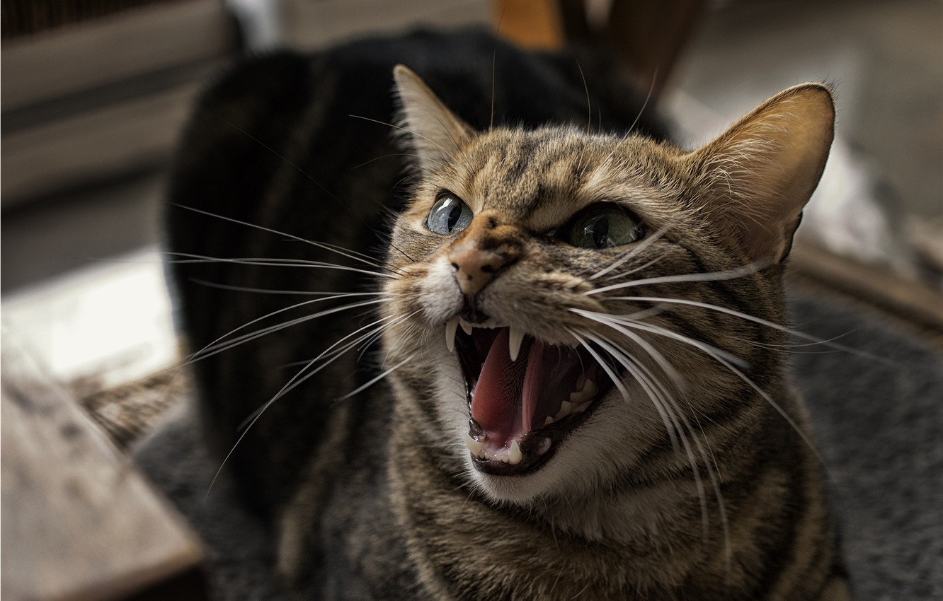 Photo wallpaper cat, cat, teeth, mouth, grin