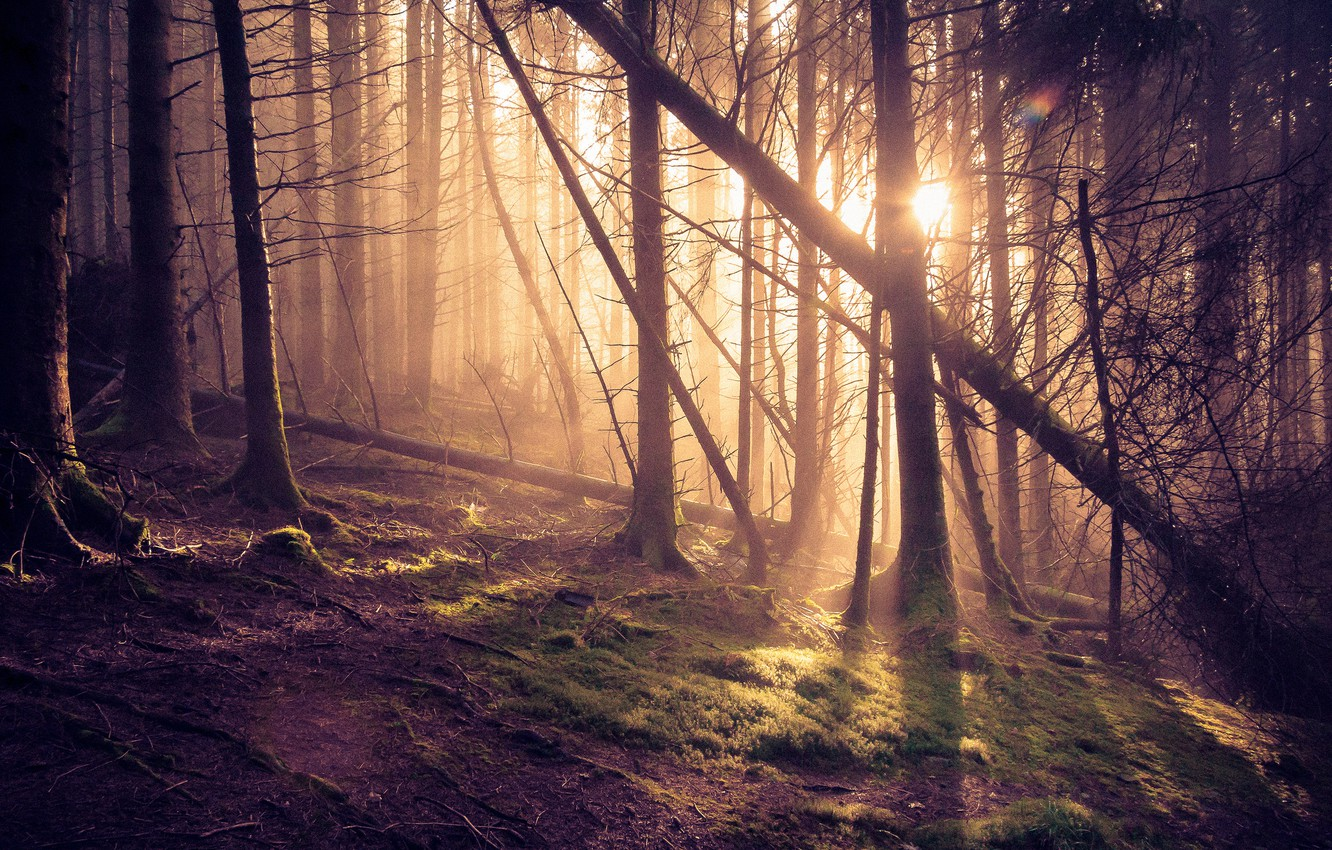 Photo wallpaper forest, the sun, rays, pine