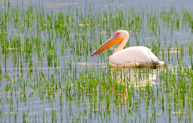 Photo wallpaper bird, plants, beak, pond, Pelican