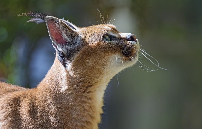 Photo wallpaper cat, face, profile, Caracal, steppe lynx, ©Tambako The Jaguar