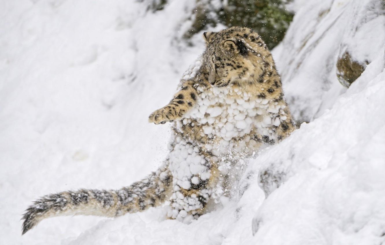 Photo wallpaper snow, jump, the game, predator, slope, baby, IRBIS, snow leopard, cub, kitty, wild cat, snow …