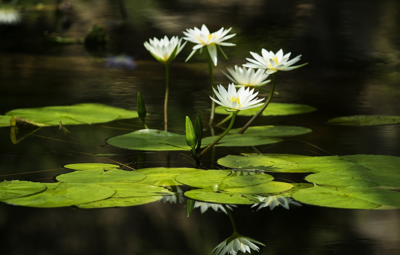 Photo wallpaper leaves, water, water, leaves, water lilies, water lilies