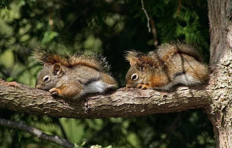 Photo wallpaper tree, sleep, branch, pair, sleep, proteins, rodents, chipmunks