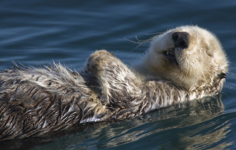 Photo wallpaper pond, wet, Otter