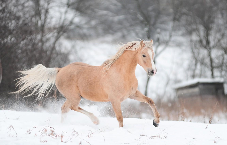 Photo wallpaper winter, snow, horse, horse, running, runs