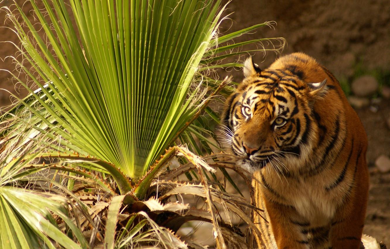 Photo wallpaper grass, eyes, leaves, tiger, plant, sitting, looks, large, intense