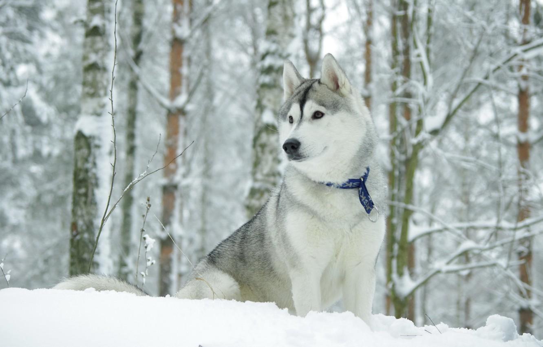 Photo wallpaper winter, dog, the