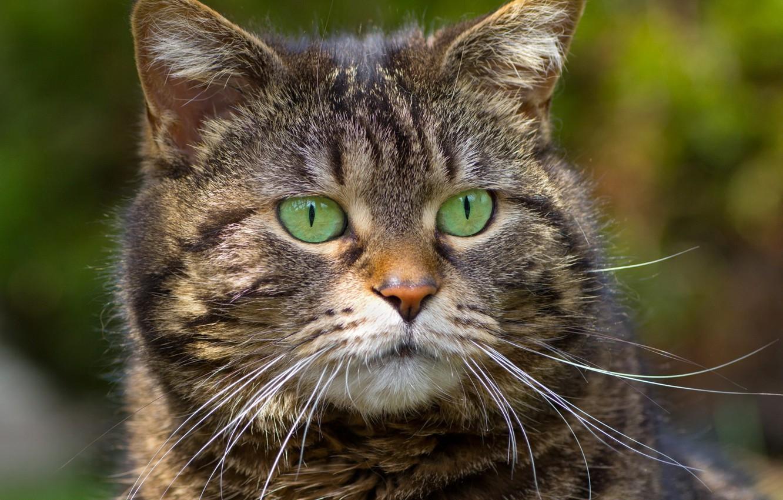 Photo wallpaper cat, mustache, background, striped, green eyes