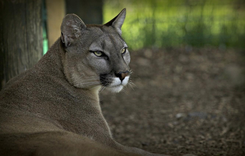 Photo wallpaper face, stay, predator, Puma, wild cat, mountain lion, Cougar, © Ania Jones