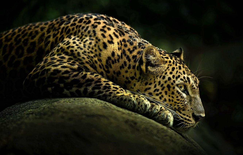 Photo wallpaper look, predator, leopard
