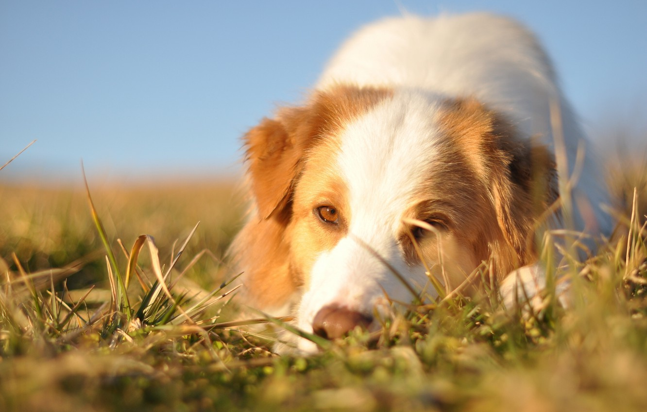Photo wallpaper face, dog, Australian shepherd