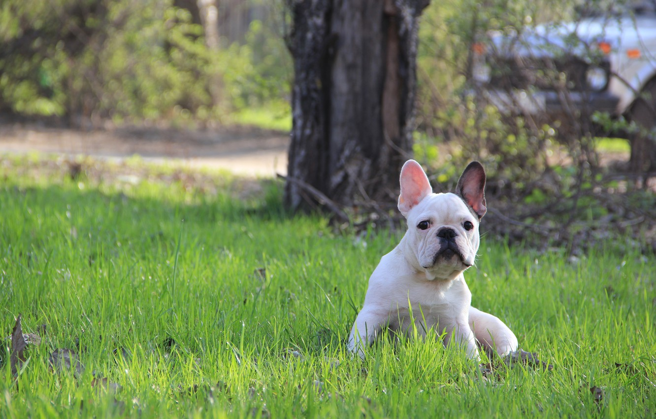 Photo wallpaper grass, puppy, French bulldog, French Bulldog
