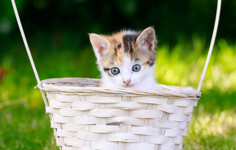 Photo wallpaper look, basket, baby, muzzle, kitty