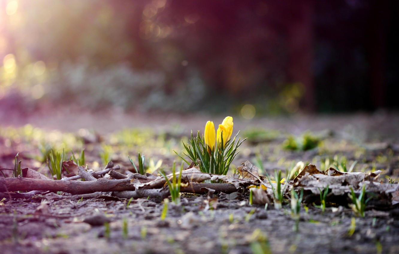Photo wallpaper flower, grass, leaves, flowers, branches, nature, earth, foliage, spring, yellow, crocuses