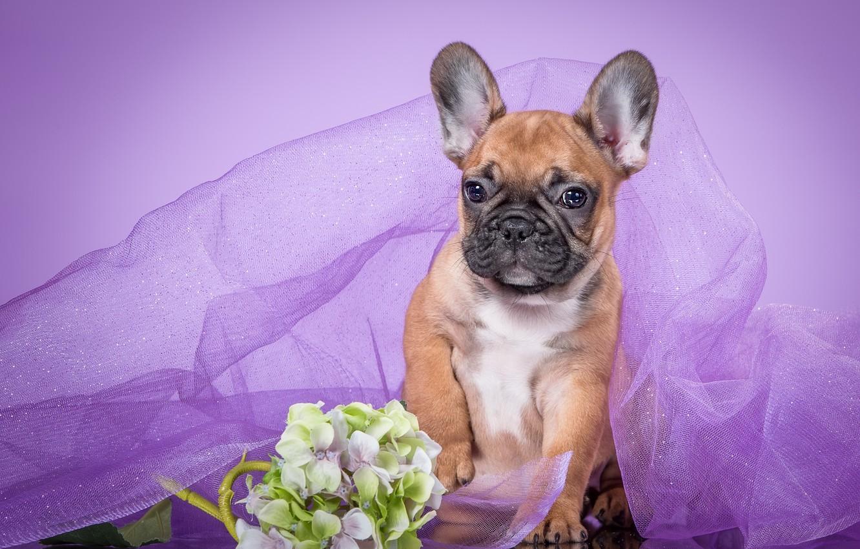 Photo wallpaper purple, puppy, veil, French bulldog, hydrangea