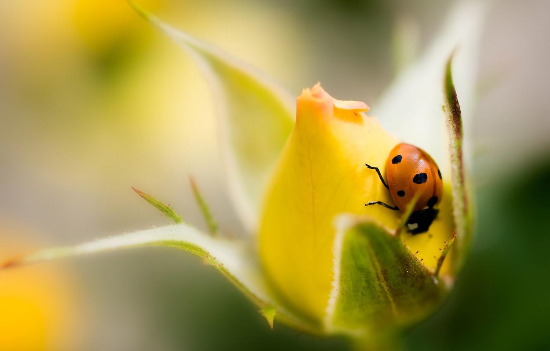 Photo wallpaper flower, rose, ladybug, Bud, yellow