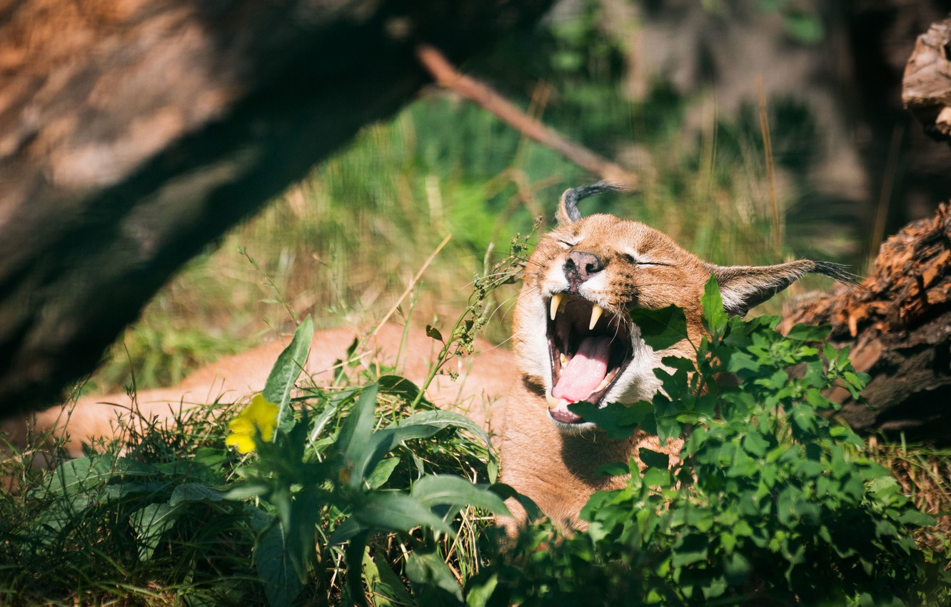 Photo wallpaper cat, grass, mouth, yawns, Caracal, steppe lynx