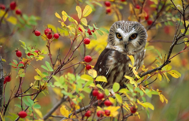 Photo wallpaper owl, bird, briar, Canada, British Columbia