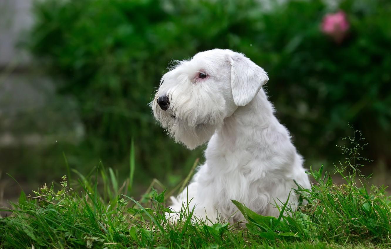 Photo wallpaper white, grass, puppy, breed, the Sealyham Terrier