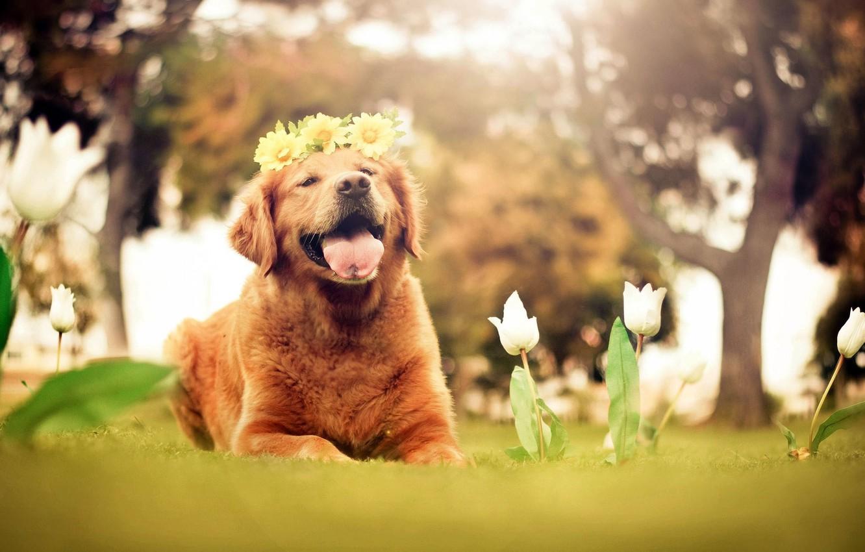 Photo wallpaper language, flowers, nature, each, dog, tulips, white, wreath