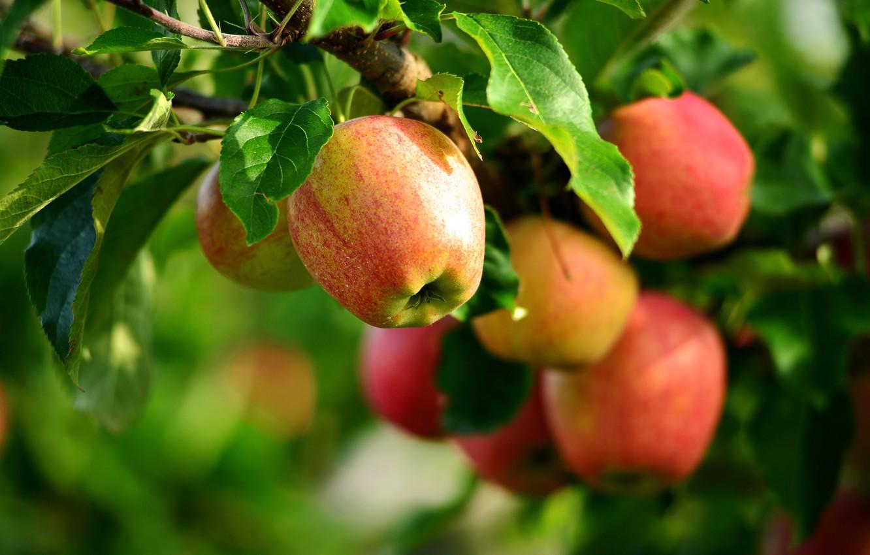 Photo wallpaper summer, apples, Apple