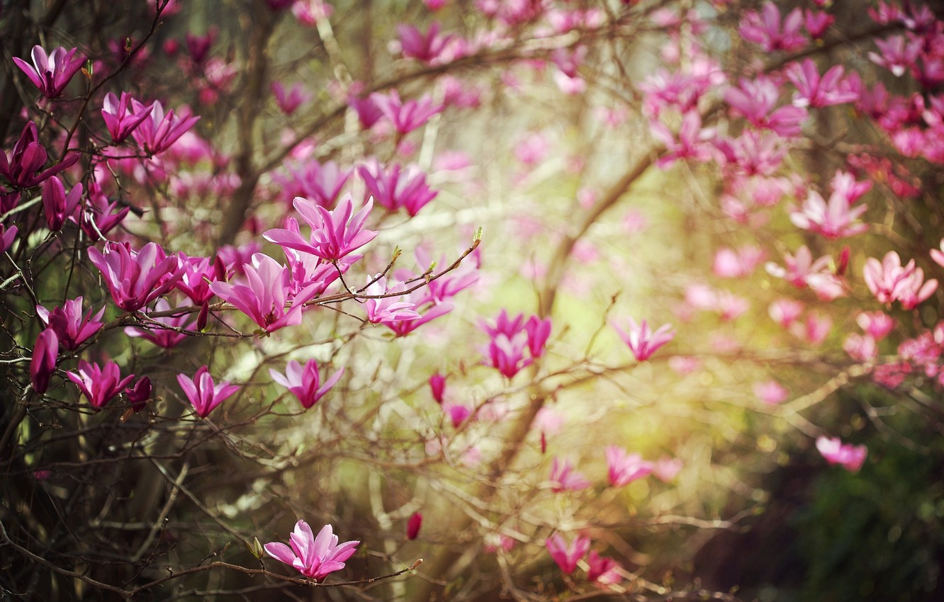 Photo wallpaper flower, flowers, branches, nature, branch, spring, flowering, Magnolia