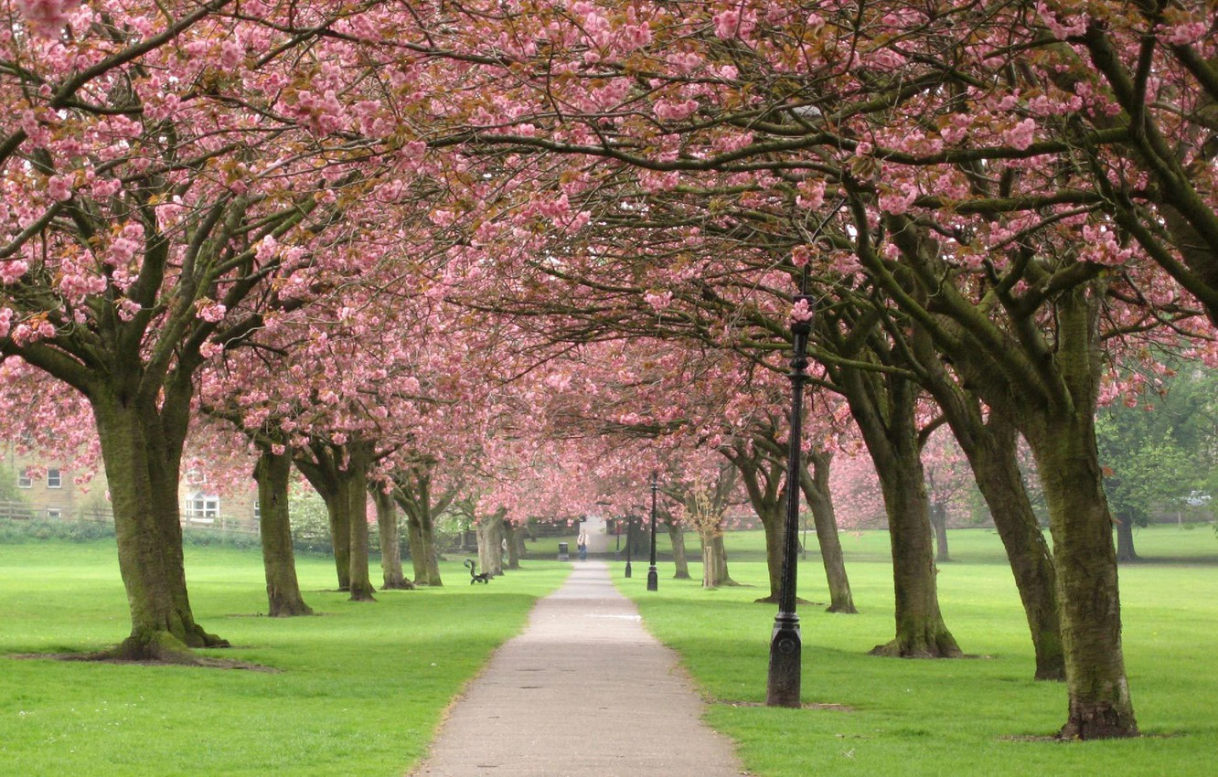 Photo wallpaper trees, flowers, branches, nature, cherry, Park, tree, spring, Sakura, alley