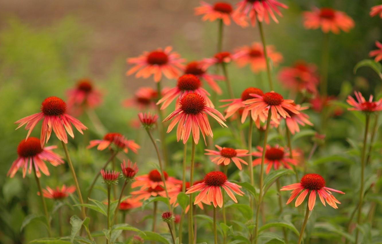 Photo wallpaper flowers, nature nature photos, daisies