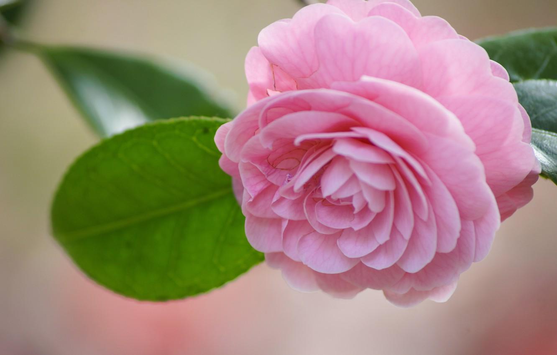 Photo wallpaper macro, Bud, Camellia
