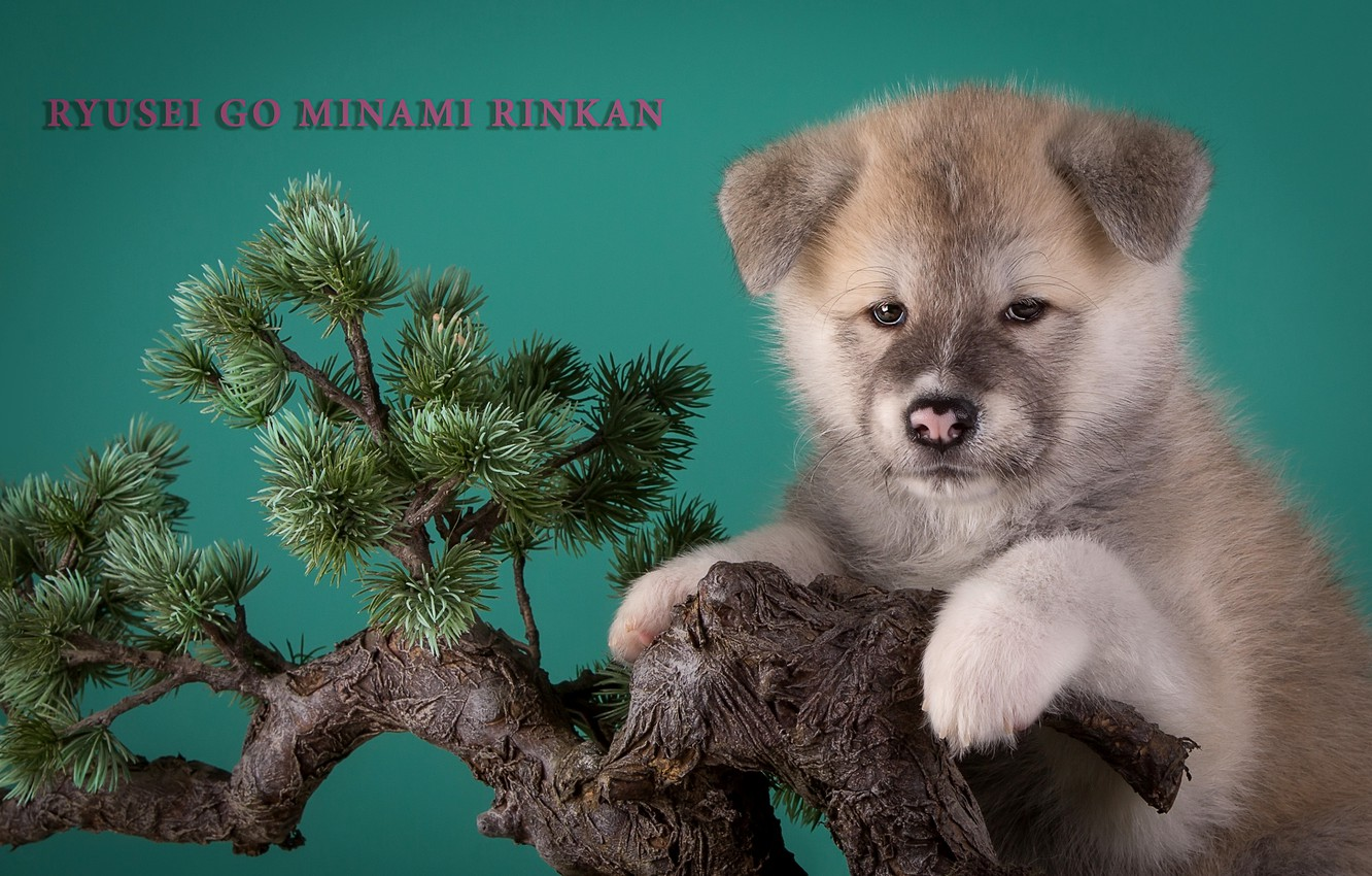 Wallpaper Tree Bonsai Puppy Beige Japanese Akita Images For Desktop Section Sobaki Download