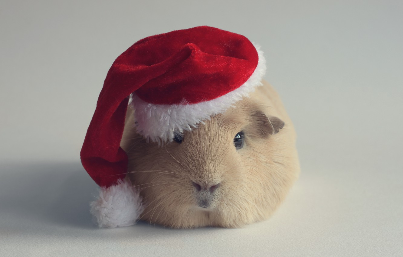 Photo wallpaper hat, new year, Guinea pig, rodent, Santa Claus