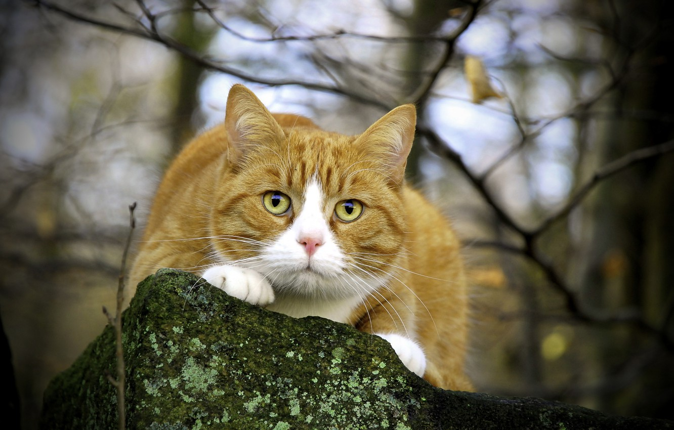 Photo wallpaper eyes, cat, mustache, look, nature, stone, branch