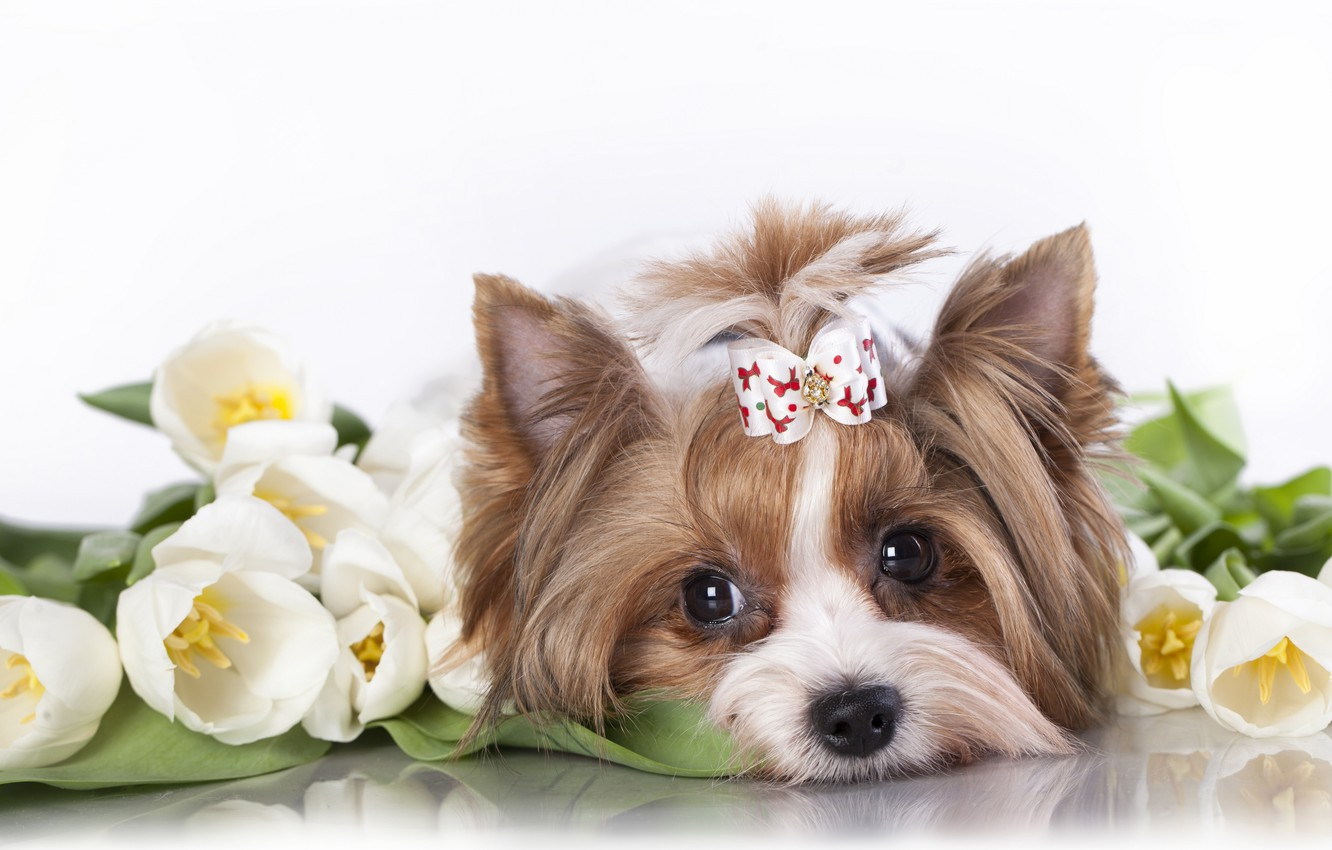 Photo wallpaper flowers, muzzle, tulips, dog, bow, Yorkshire Terrier